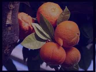 خواص نارنج برای سرماخوردگی ، خواص نارنج در سرماخوردگی , خواص نارنج برای سرماخوردگی چیست , خواص نارنج برای سرماخوردگی در طب سنتی