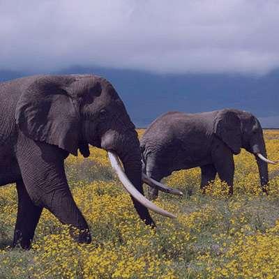 شعر در مورد فیل