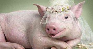 فواید و خواص و علت حرام بودن گوشت خوک در قرآن