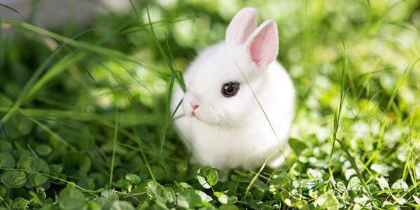 گوشت خرگوش , گوشت خرگوش حلال یا حرام , گوشت خرگوش طب سنتی , گوشت خرگوش برای درمان آسم