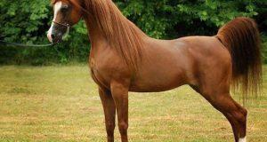 خواص و مضرات و حکم خوردن گوشت اسب در اسلام و ایران