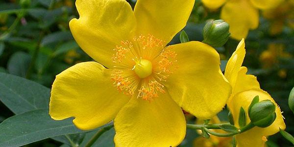 گل راعی , گل راعی در طب سنتی , گل راعی خشک شده , گل راعی خواص