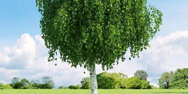 درخت غان , درخت غان چیست , درخت غان سفید , خواص درخت غان
