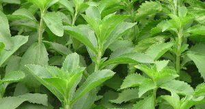 عوارض و مضرات مصرف برگ گیاه استویا یا شیرین برگ چیست