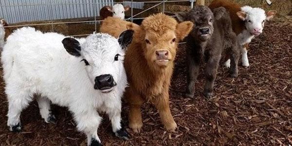 گوشت گوساله , گوشت گوساله در بارداری , گوشت گوساله+خواص , گوشت گوساله برای نوزاد