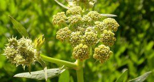 عوارض و خواص مصرف گیاه افسنطین یا افسنتین در طب سنتی چیست