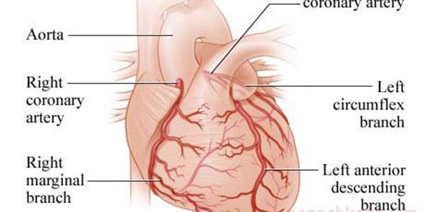 شریان کرونری , شریان کرونری راست , شریان کرونری چپ , شریان های کرونری