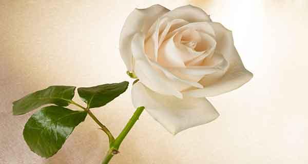 گل محمدی سفید ، خواص گل محمدی سفید ، عکس گل محمدی سفید
