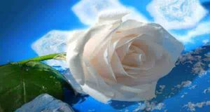 گل محمدی سفید ؛ خواص و عکس گل محمدی سفید