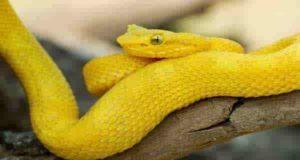 تعبیر خواب مار زرد | 50 تعبیر دیدن مار زرد در خواب
