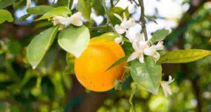 خواص بهار نارنج برای قاعدگی و پیش قاعدگی و پریود