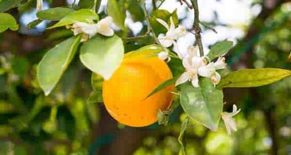 خواص بهار نارنج برای قاعدگی