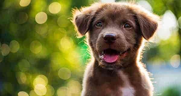 نژاد سگ ، بهترین نژاد سگ ، نژاد سگ ایرانی ، انواع نژاد سگ ، نژاد سگ خانگی