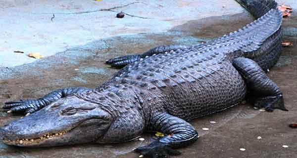 تعبیر خواب تمساح در خانه ، دیدن تمساح در خانه ، خواب دیدن تمساح در خانه خود